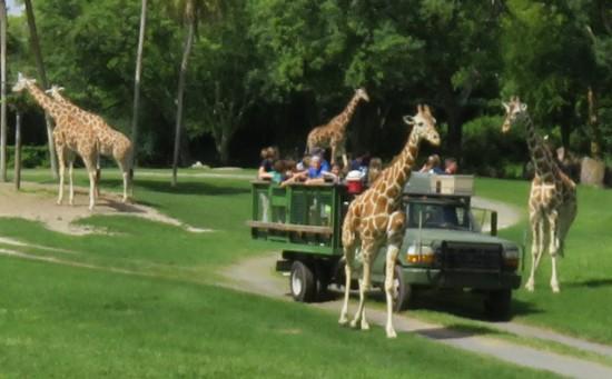 Serengeti Safari At Busch Gardens Thedibb