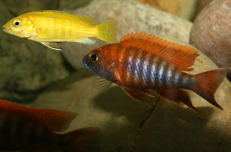African Cichlid Forum View Topic Help With A Couple Of